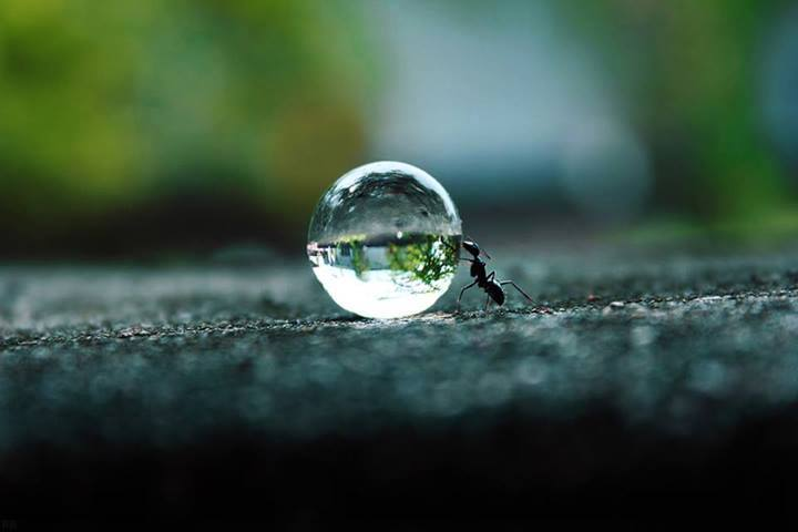 Ant rolling a water droplet, not Sisyphus.jpg
