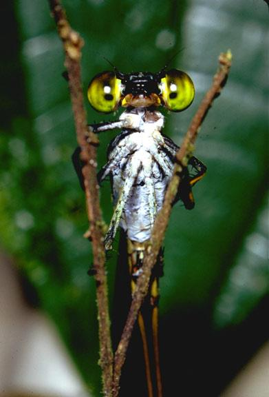 Bug eyes in the rainforest canopy Photo by Don Perry.jpg