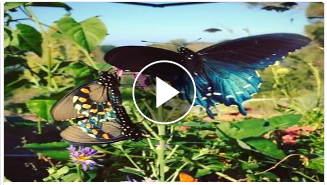 California Pipevine Swallowtail Project butterflies.png