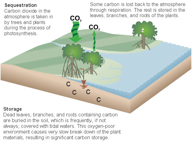 Carbon cycle NOAA.jpg