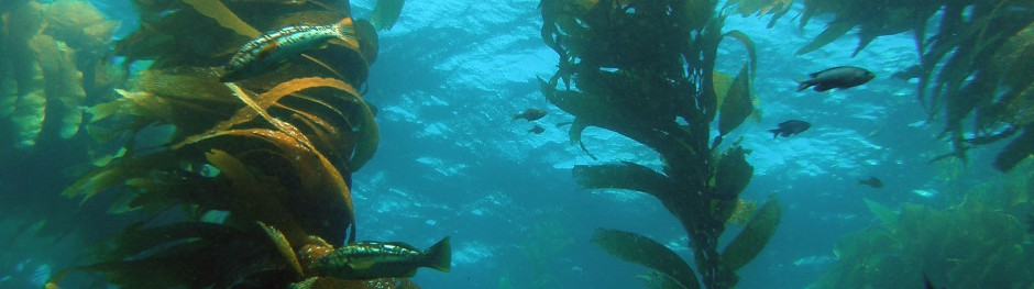 Floating forest of kelp.jpg