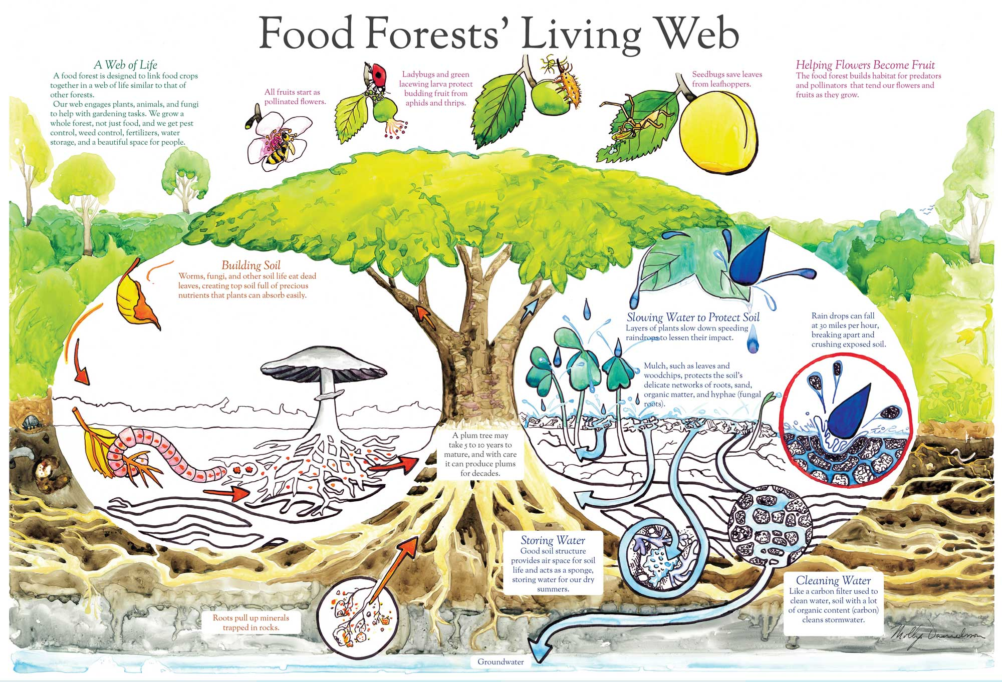 Food-Forests-Living-poster by Molly Danielsson.jpg