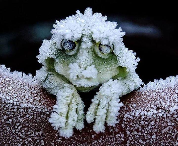 It's here, the ice age is here trolling arctic frog.jpg