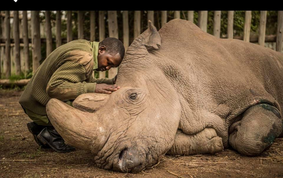 Last male northern white Rhino - 2018.jpg