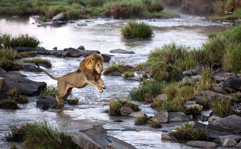 Lion leaping, Sheldrick Trust. Photo Charlotte Rhodes Rex.png