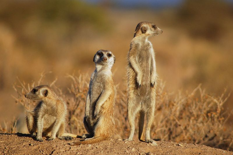 Meerkats Suricates in Namibia.jpg