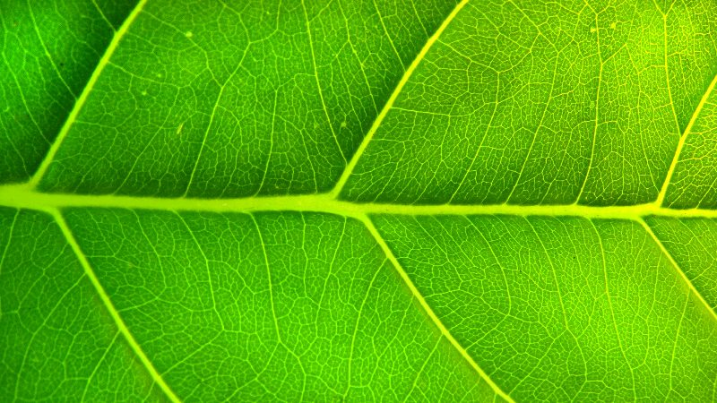 Nature Us and Veins of a Green Leaf.jpg