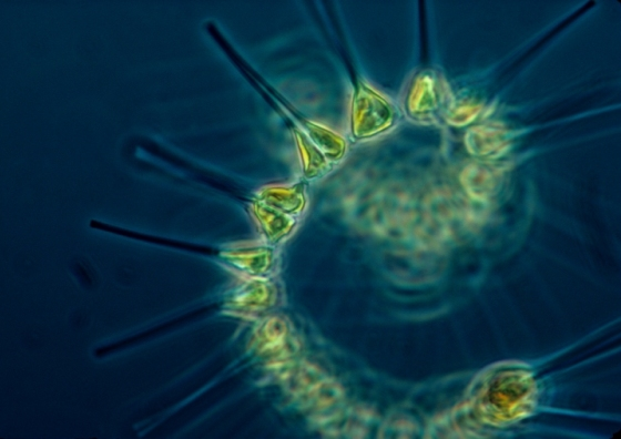 Phytoplankton - the foundation of the oceanic food chain 560x396.jpg