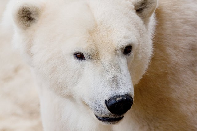 Polar bear charismatic powerful.jpg
