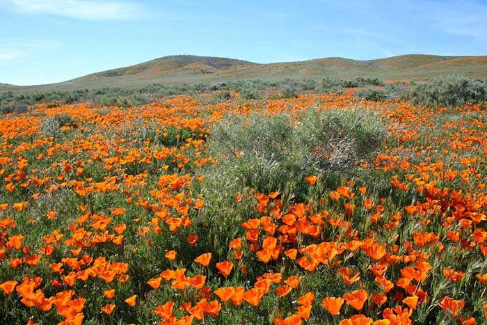 Poppies in antelope valley 2017.jpg