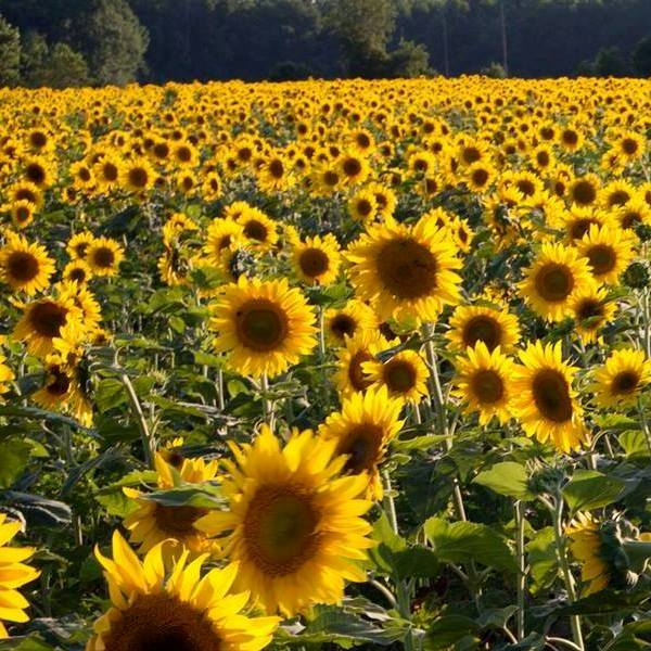 Sunflower fields 600x600.jpg