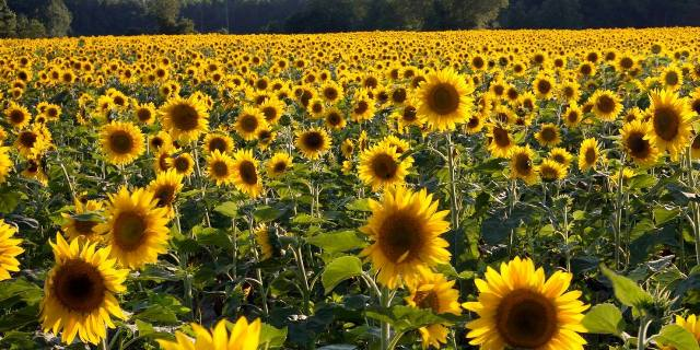 Sunflower fields m.jpg
