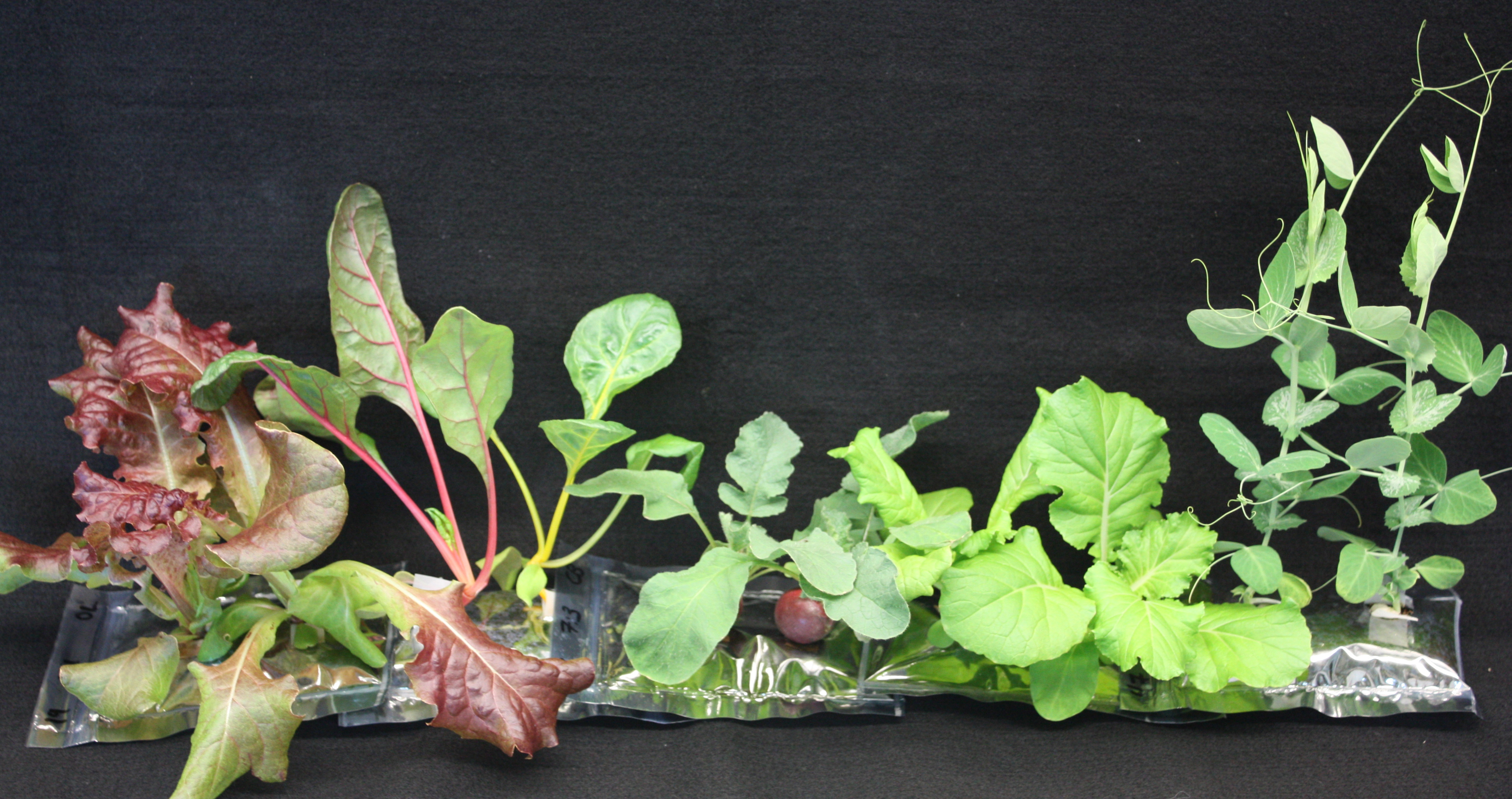VEGGIE successes lettuce, swiss chard, radishes, chinese cabbage, peas.jpg